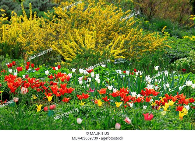 Garden with tulips in spring