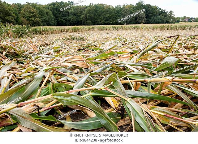 Corn plants in a field which have been pressed to the ground by a storm