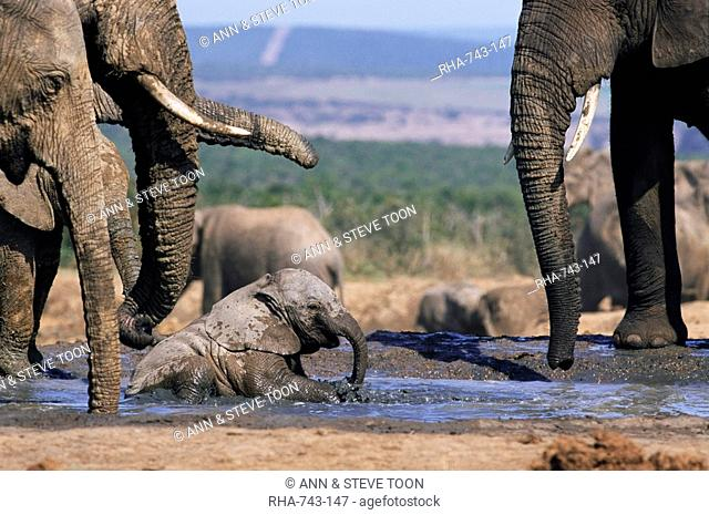 African elephant, Loxodonta africana, bathing in water, Greater Addo National Park, South Africa, Africa