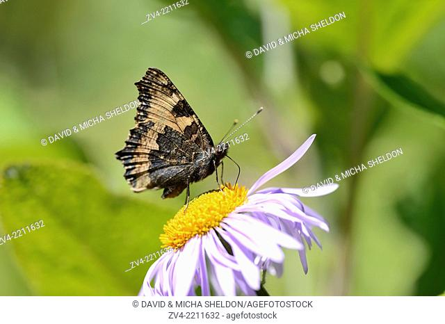 Close-up of a small tortoiseshell (Aglais urticae L.) on a European Michaelmas Daisy (Aster amellus) blossom in spring