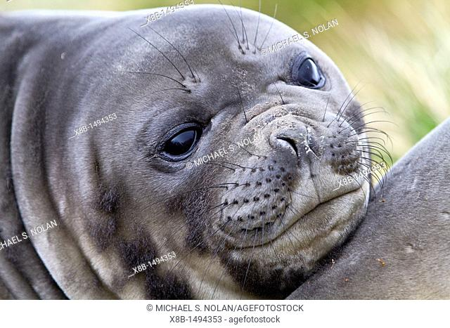Southern elephant seal Mirounga leonina pup often called 'weaners' once their mothers stop nursing them on South Georgia Island in the Southern Ocean  MORE INFO...