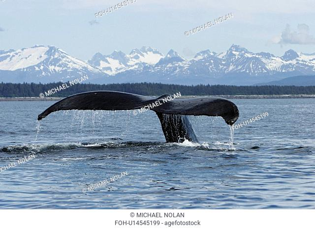Adult Humpback Whale Megaptera novaeangliae fluke-up dive in Southeast Alaska, USA. Pacific Ocean