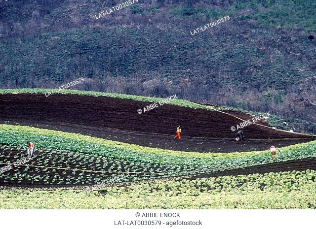 People working in fields. Cultivating rich soil. Crops