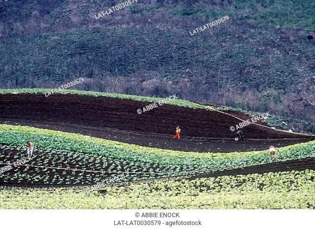 People working in fields. Cultivating rich soil. Crops