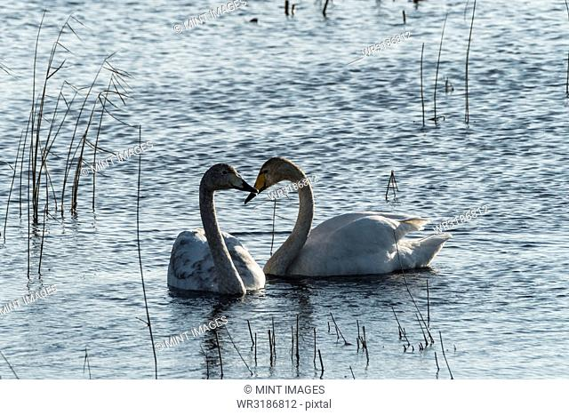 Two white swans in between reeds on a lake, facing each other