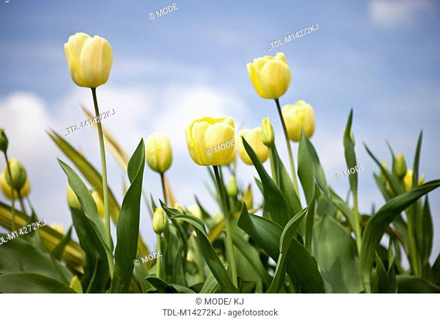 A group of yellow tulips against a blue sky