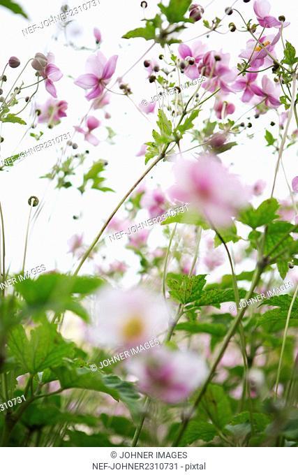 Pink summer flowers on meadow