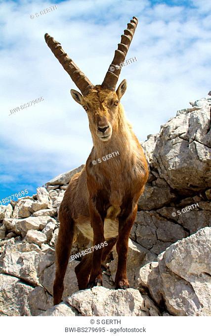 alpine ibex Capra ibex, standing in rocky scenery, Switzerland, Alpstein, Saentis