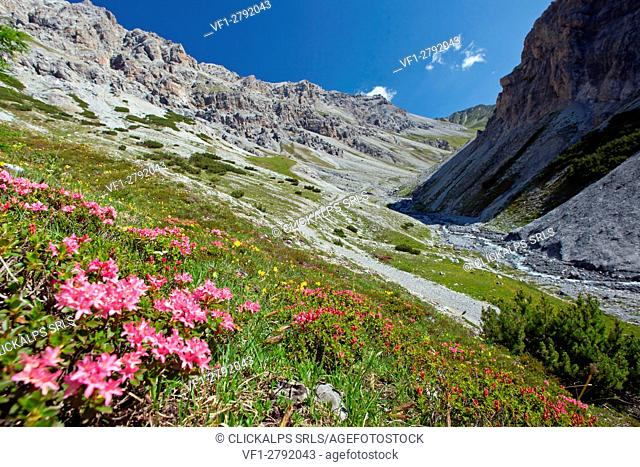 Rhododendron blooming in the wild Valle della Forcola, Valtellina,Lombardy Italy Europe