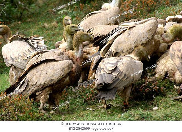 Griffon Vulture Gyps fulvus, on sheep carcass, Pyreneans, France /. Vautour fauve, sur carcasse de brebis