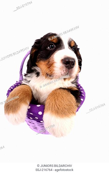 Bernese Mountain Dog. Puppy (6 weeks old) sitting in a purple basket. Studio picture against a blue background. Germany