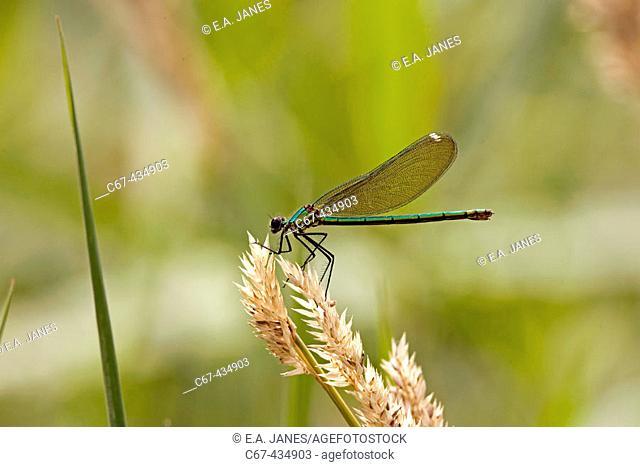 Banded demoiselle damselfly female (Calopteryx splendens)