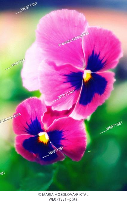Two Purple Pansy Flowers. Viola x wittrockaina. May 2006, Maryland, USA