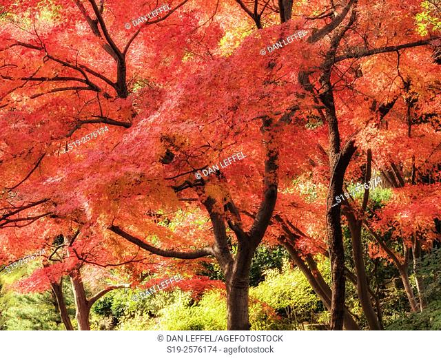 Japanese Maple Fall Color. Fort Worth, Texas