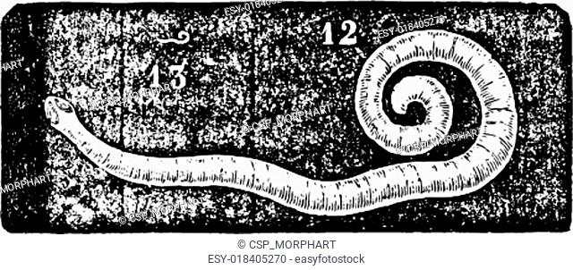 Pinworm or Enterobius, vintage engraving