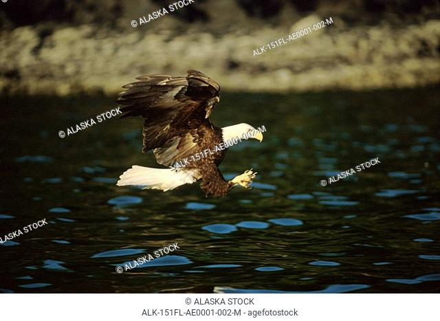 Bald Eagle in Flight Herring Tongass Natl Forest AK Southeast Summer Portrait Adult