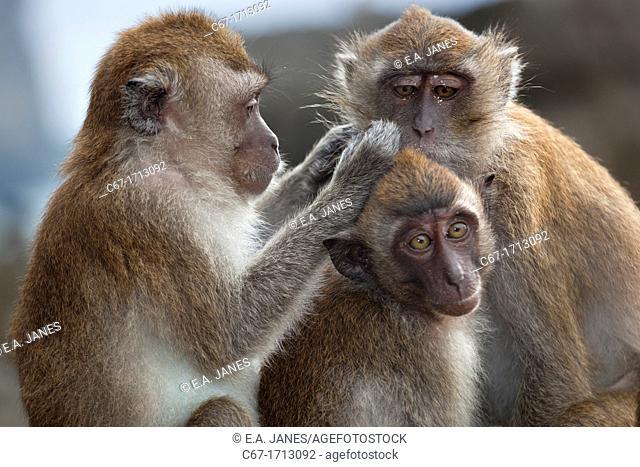 Crab-eating Macaque Macaca fasdicularis grooming Southern Thailand