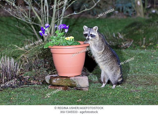 Raccoon Procyon lotor, searching for food in garden plant pot
