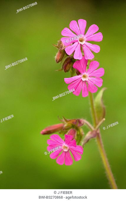 red campion Silene dioica, blooming, Germany, Rhineland-Palatinate
