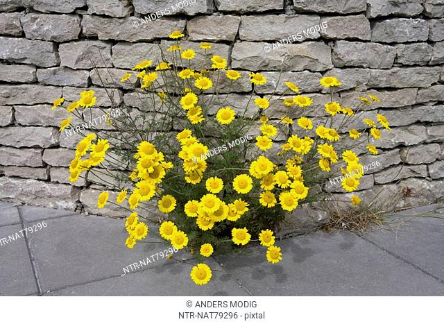 Golden Marguerite by a wall, Gotland, Sweden