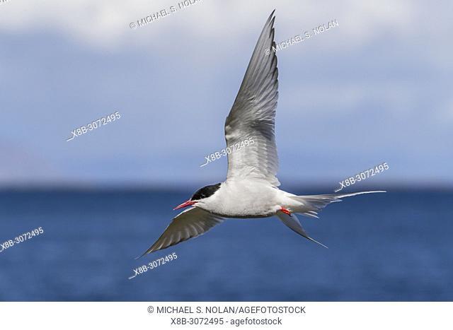 Adult Arctic tern, Sterna paradisaea, in flight on Flatey Island, Iceland