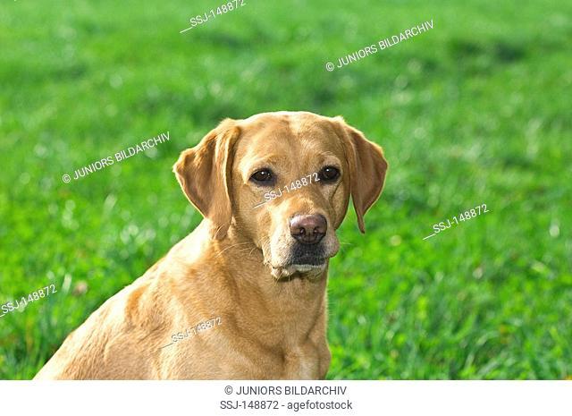 Labrador Retriever - Portrait