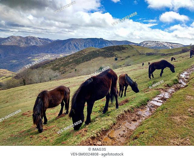 'Asturcón' horses, in Calzada Romana de La Mesa, in the limit of Belmonte de Miranda and Yernes y Tameza municipalities, Asturias, Spain