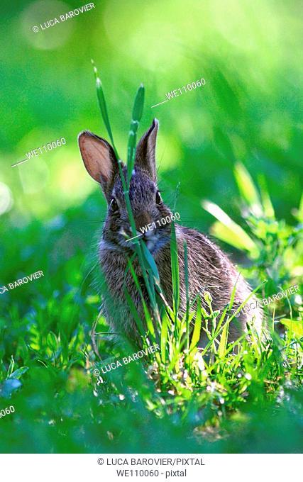 Sylvilagus floridanus - Cottontail rabbit hidden behind a blade of grass - Parco delle cave, Milan Italy