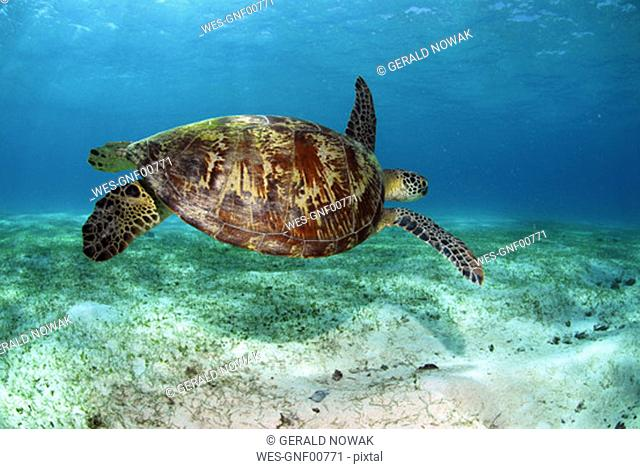 Philippines, green sea turtle