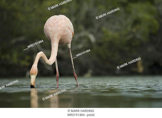 Galapagos Flamingo Phoenicopterus ruber Galapagos