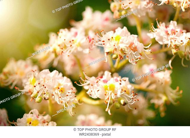 Aesculus chestnut tree blossoms anthers, flowering buckeye or horse chestnut tree white flowers detail, flowerets clusters, deciduous plant grow in Poland