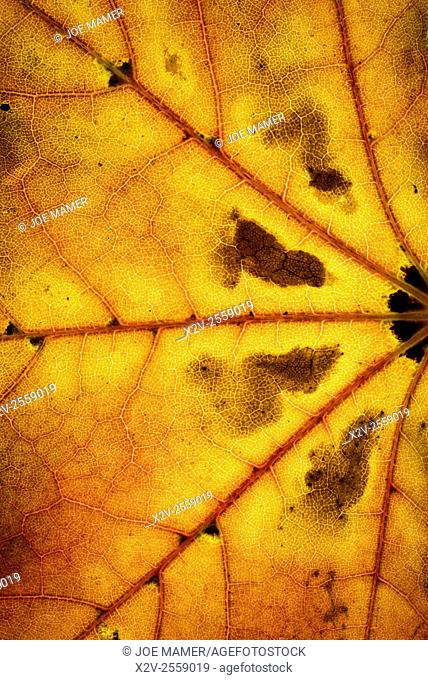 Colorful detail of an autumn maple leaf
