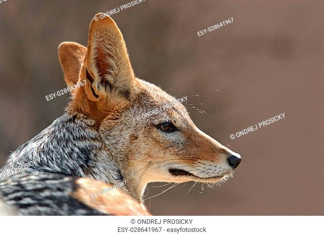 Black backed jackal,Canis mesomelas