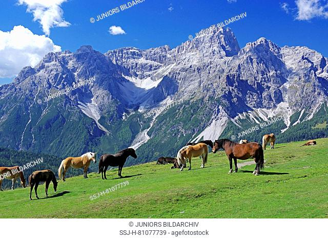 Horses on an alpine meadow in the Sexten Dolomites, high above the Kreuzberg Pass. Haflinger and Italian draft horses in the pasture