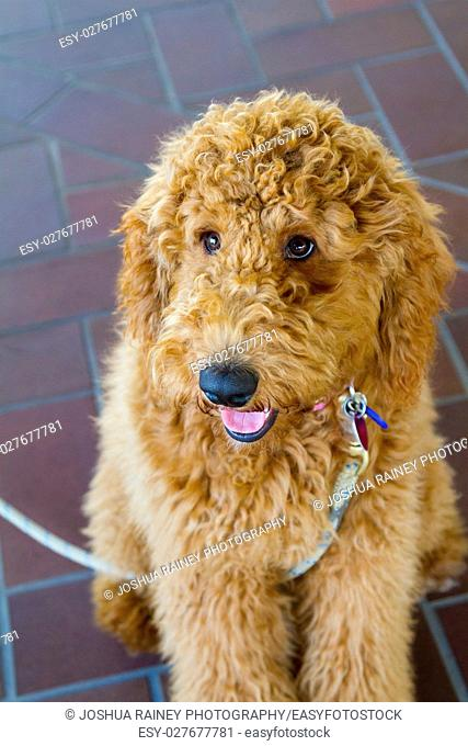 Wedding ceremony has a labradoodle ring bearer dog
