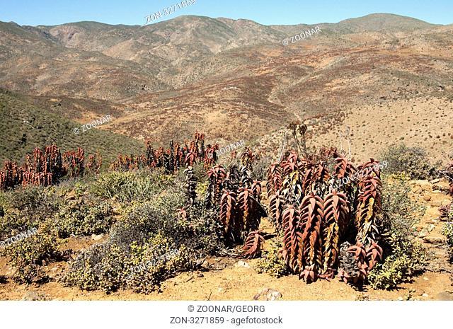 Aloe pearsonii am Helskloof Pass, Richtersveld Nationalpark, Südafrika / Pearson's aloe Aloe paersonii at Helskloof Pass, Richtersveld National Park