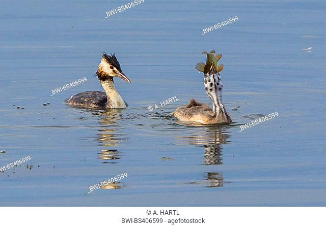 great crested grebe (Podiceps cristatus), juvenile was fed by an adult with a large tench, Germany, Bavaria