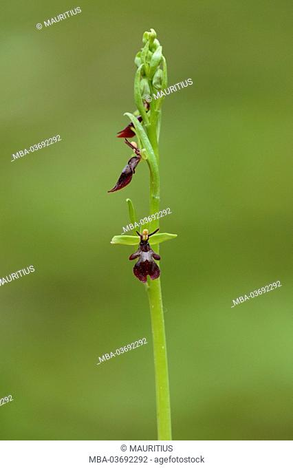 fly orchid, Ophrys insectifera, blossom