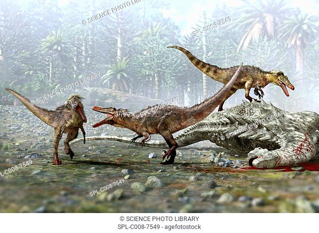 Austroraptor dinosaurs. Artwork of a group of three Austroraptor dinosaurs scavenging on the dead body of a larger dinosaur
