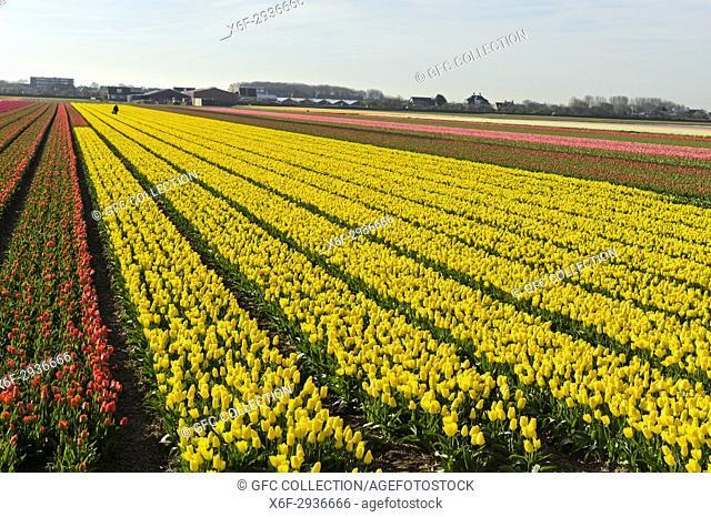 Field of blooming yellow tulips for tulip bulb production in the Bollenstreek area bear Noordwijkerhout, Netherlands