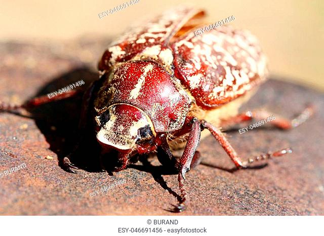 Large black scarab Stock Photos and Images | age fotostock
