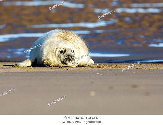 gray seal (Halichoerus grypus), young animal lying on the beach, Europe, Germany, Schleswig-Holstein, Heligoland