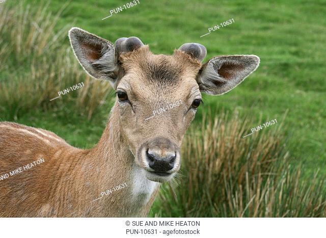 Close-up of a fallow deer dama dama, Scottish Highlands
