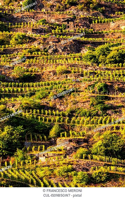 View of vineyards on slope of hill