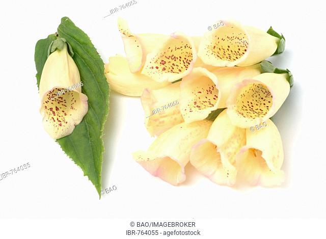 Large Yellow Foxglove (Digitalis grandiflora), medicinal plant