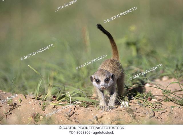 Suricate (Suricata suricatta). Kgalagadi Transfrontier Park, Kalahari desert, South Africa/Botswana
