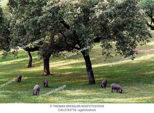 Grazing pigs and holm oaks (Quercus ilex) in the Sierra de Aracena, which is part of the vast Sierra Morena. The meat of these black pigs make the king of hams