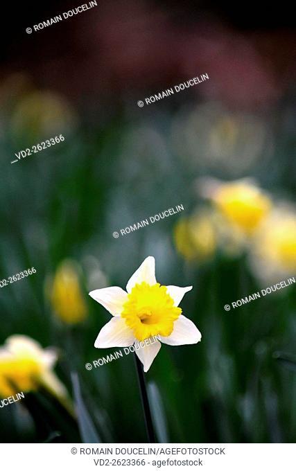 Daffodil in a field on a winter morning in Rhone-Alpes region