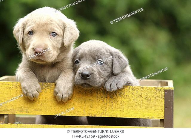 2 Labrador Retriever Puppies