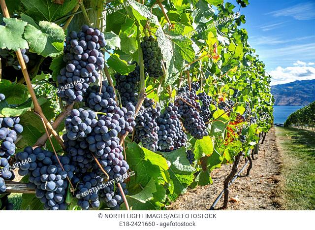 Canada, BC, Okanagan Valley. Fresh ripe red grapes on the vine ready for harvesting at the end of summer. The Okanagan is one of Canada's top wine producing...